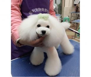 宠物狗狗美容学习